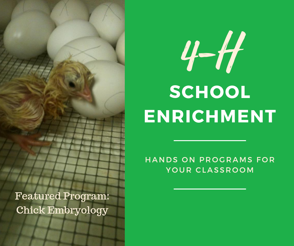 4-H School Enrichment Chick embryology